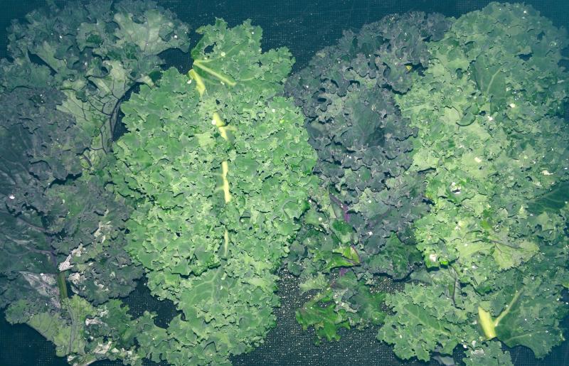 Boerenkool bladeren